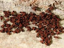 Pyrrhocoris hemiptera. Royalty Free Stock Images