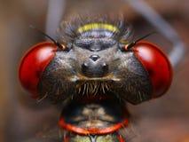 pyrrhosoma nymphula damselfly Стоковое фото RF