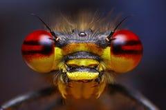 Free Pyrrhosoma Nymphula Damselfly Stock Photography - 18226832