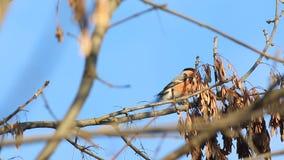 Pyrrhula mannelijke zitting van goudvinkpyrrhula op een tak en het eten van esdoornzaad stock videobeelden