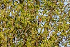 Pyrrhula maschio del pyrrhula del ciuffolotto con le piume rosa luminose vive del petto, raccogliendo i semi ed i fiori alla luce fotografie stock libere da diritti