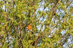 Pyrrhula masculin de pyrrhula de bouvreuil avec le plumage rose lumineux vif de coffre, rassemblant des graines et des fleurs à l photo libre de droits