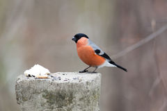 Pyrrhula pyrrhula, Bullfinch, male. Pyrrhula pyrrhula, Bullfinch. Wild bird in a natural habitat. Wildlife Photography Royalty Free Stock Photography