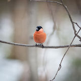 Pyrrhula pyrrhula, Bullfinch, male. Stock Images