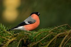 Pyrrhula pyrrhula - Eurasian Bullfinch - male sitting on the spruce branch. In the forest Royalty Free Stock Photography