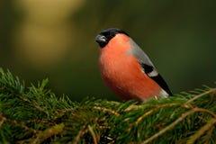 Pyrrhula pyrrhula - Eurasian Bullfinch - male sitting on the spruce branch. In the forest Stock Photo