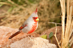 Pyrrhuloxia Stock Photography