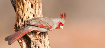 Pyrrhuloxia Royalty Free Stock Images