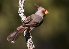 Pyrrhuloxia Royalty Free Stock Photo