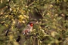 Pyrrhuloxia, Cardinalis sinuatus Stock Photos