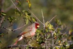 Pyrrhuloxia, Cardinalis sinuatus Stock Photography