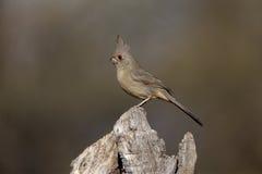 Pyrrhuloxia, Cardinalis sinuatus Royalty Free Stock Images