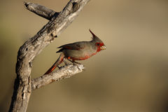 Pyrrhuloxia, Cardinalis sinuatus Royalty Free Stock Photos