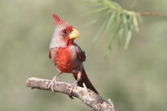 Pyrrhuloxia (Cardinalis sinuatus) Stock Images