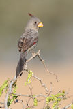 Pyrrhuloxia perched in a thorn tree Royalty Free Stock Image