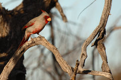 Pyrrhuloxia Perched In Arizona Stock Image
