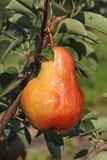 Pyrus communis très sain Williams de poire de jardin Images stock