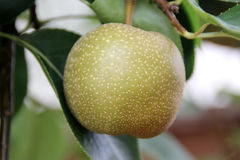 Pyrus pyrifolia, Asian Pear Royalty Free Stock Photography