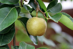 Pyrus pyrifolia, Asian Pear Stock Photography