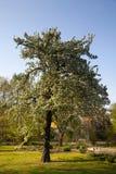 Pyrus salicifolia stock photos
