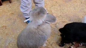 Pysen matar kaniner i en kontaktzoo Gullig unge med kaninen lager videofilmer
