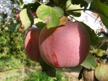 pyszne jabłka Zdjęcie Royalty Free