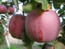 pyszne jabłka Fotografia Stock