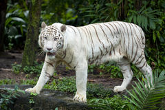 pyszni się tygrysi biel Fotografia Stock