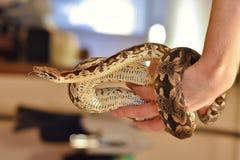 Python在手边,在手边蛇,人拿着Python 库存图片