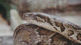 Python蛇特写镜头 Pyton在动物园里 库存图片