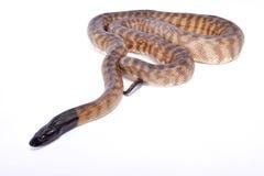 Python à tête noire, melanocephalus d'Aspidites photos stock