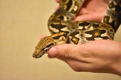 python σε διαθεσιμότητα, το φίδι σε διαθεσιμότητα, άτομο κρατά python στοκ φωτογραφία με δικαίωμα ελεύθερης χρήσης