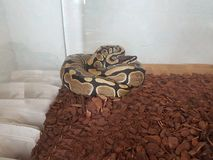 Python στο terrarium του στοκ φωτογραφία με δικαίωμα ελεύθερης χρήσης