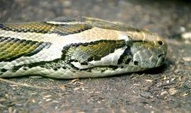 Python 1 Stock Image