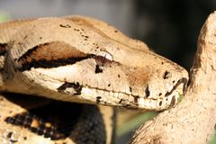Python蛇 库存照片
