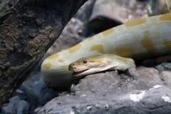 Python royalty free stock photos