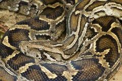Python Royalty-vrije Stock Fotografie