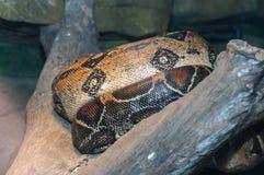 Python photographie stock libre de droits