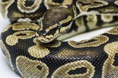Κανονική σφαίρα Python Στοκ φωτογραφία με δικαίωμα ελεύθερης χρήσης