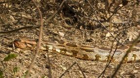 python Imagem de Stock