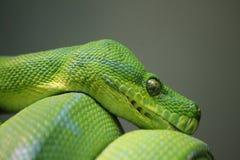 python Foto de archivo libre de regalías
