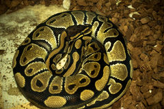 python Fotografia Stock Libera da Diritti