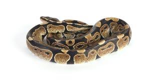 Python Royalty Free Stock Photography