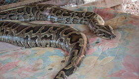 python Στοκ εικόνες με δικαίωμα ελεύθερης χρήσης