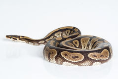 Python Stock Images