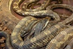 Python African stone Python sebae natalensis royalty free stock photography