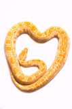 Python albino. Albino python in a heart on a white background stock photography