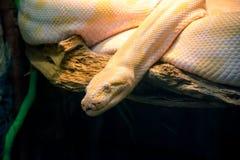 Python albino. Python looks at the camera. Python-an albino. yellow snake Stock Image