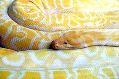 Python albino Royalty Free Stock Images