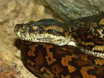 Python in Australia Stock Photos